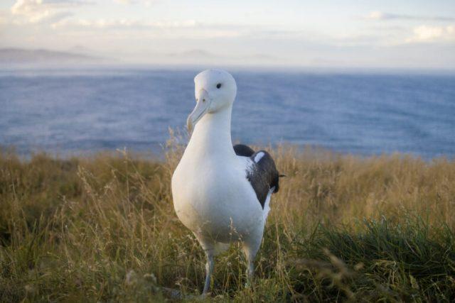 Albatross otago peninsula